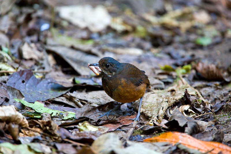 Moustached antpitta eating worms, Angel Paz Bird Reserve, Ecuador