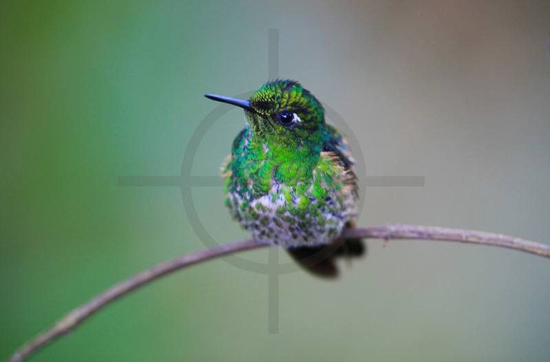 Speckled hummingbird perching, Bellavista Cloud Forest, Ecuador