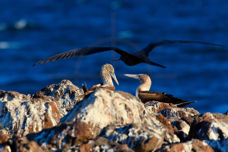 Pair of blue-footed boobies with great frigatebird flying by,  North Seymour, Galápagos Islands, Ecuador