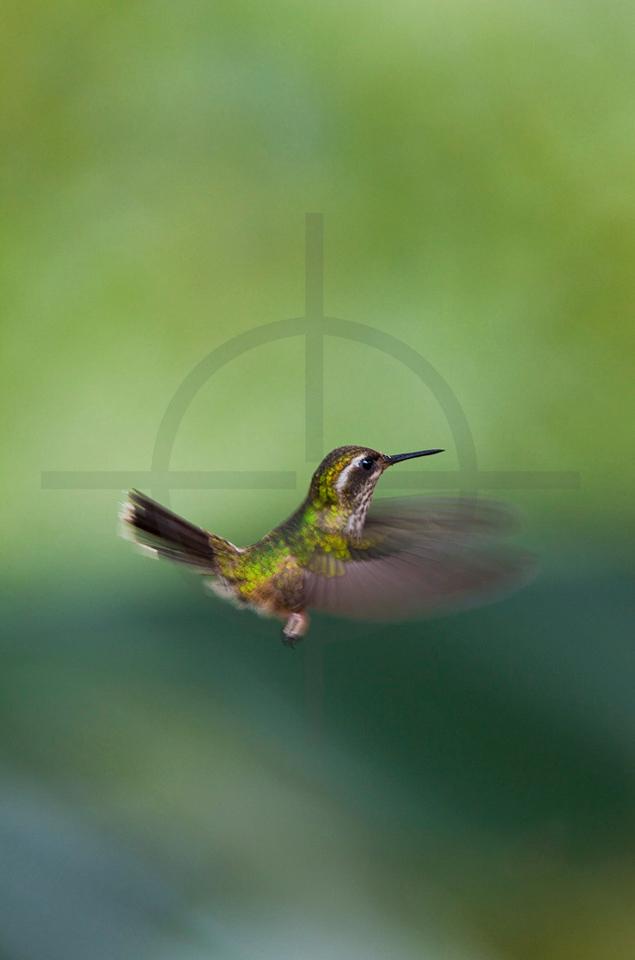 Speckled hummingbird hovering, Bellavista Cloud Forest, Ecuador