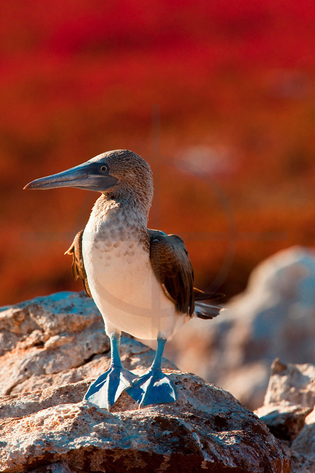 Blue-footed booby (female) on a rock in a field of Galapagos carpet weed,  North Seymour, Galágpagos Island, Ecuador