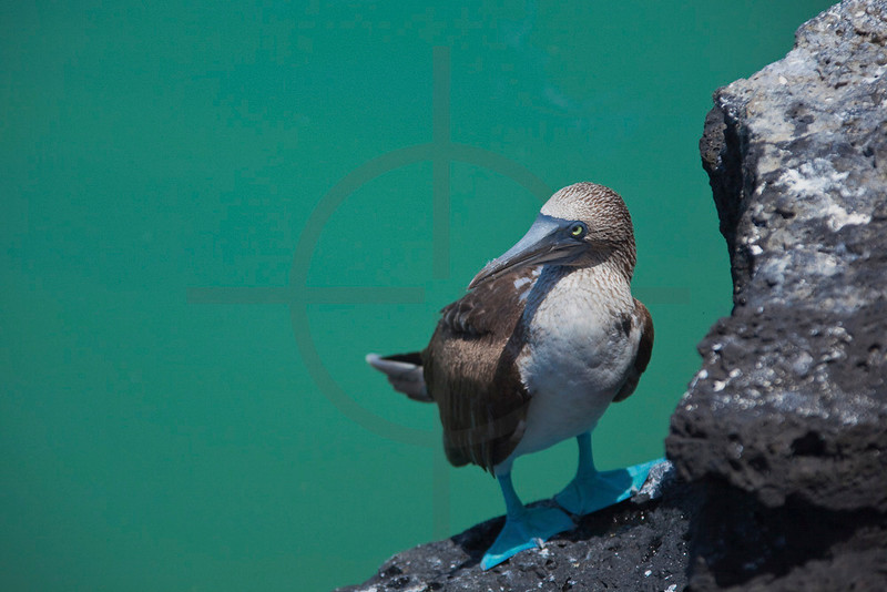 Blue-footed booby, Bahía Tortuga, Santa Cruz Island, Galápagos Islands, Ecuador