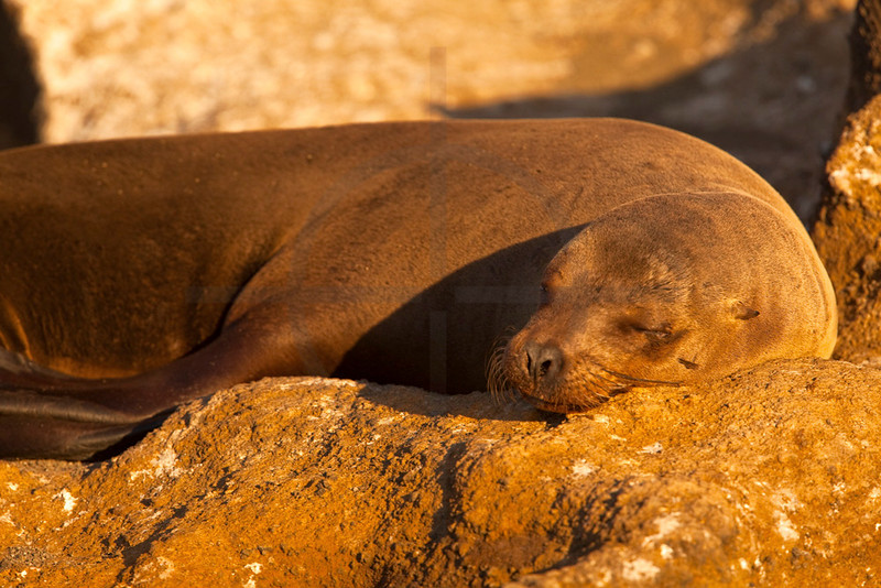 Galápagos sea lion (cow) basking in the sun, Bartolomé Island, Galápagos Island, Ecuador