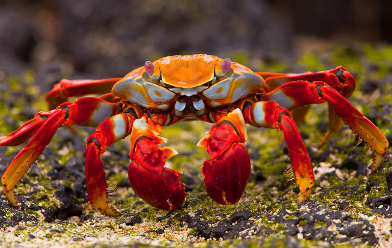 Sally lightfoot crab, Sombrero Chino, Galápagos Islands, Ecuador