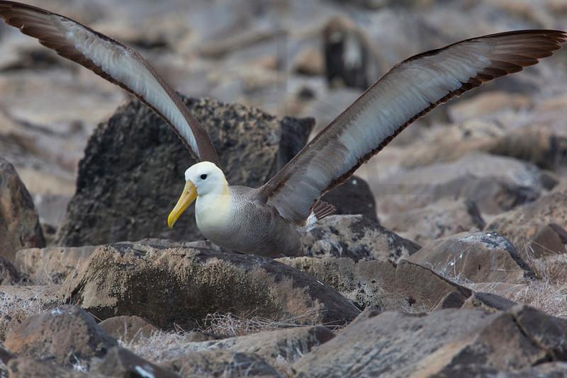 Waved albatros landing, Española, Galápagos Islands, Ecuador