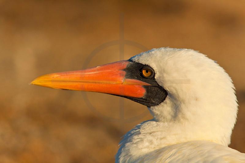 Nazca booby, Genovesa Island, Galápagos Islands, Ecuador