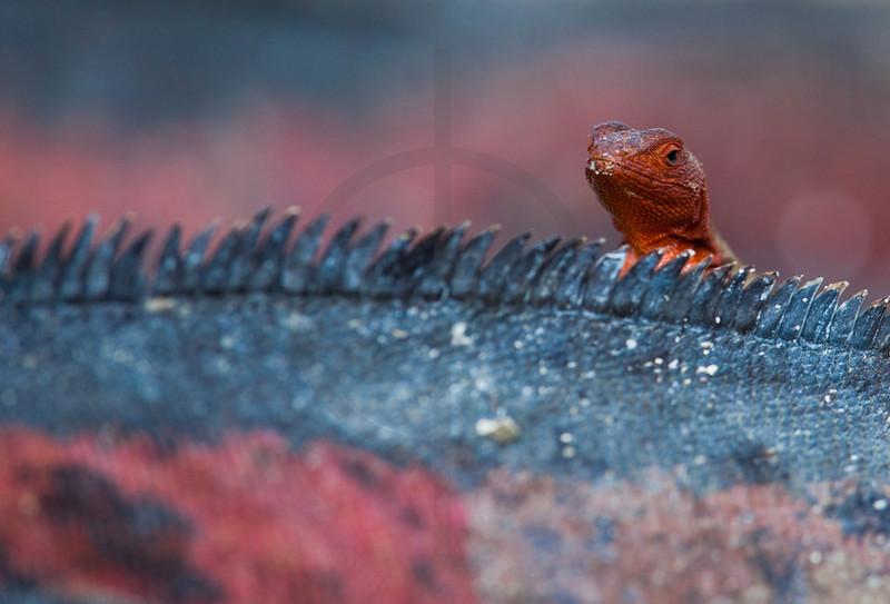 Pile of reptiles: Hood lava lizard (female) pops up behind the back of a Galápagos marine iguana, Punta Suárez, Española, Galápagos Islands, Ecuador