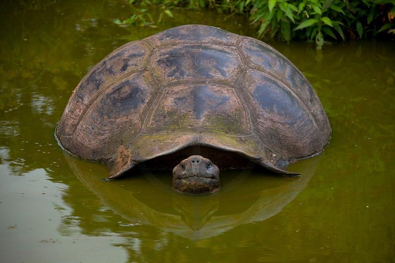 Galápagos tortoise bathing, Charles Darwin Research Station, Santa Cruz, Galápagos Islands, Ecuador