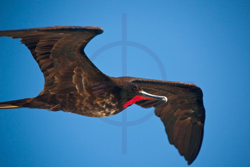 Magnificent frigatebird (male) in flight, Galápagos Islands in between Santiago and Jervis, Ecuador