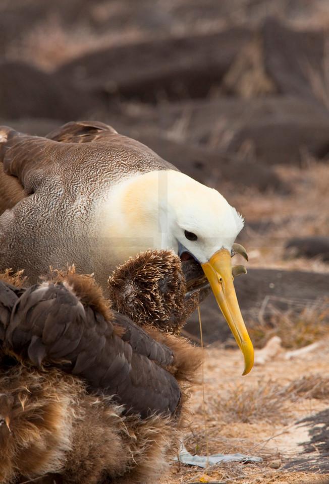 Waved albatros feeding its chick, Punta Suárez, Española, Galápagos Islands, Ecuador