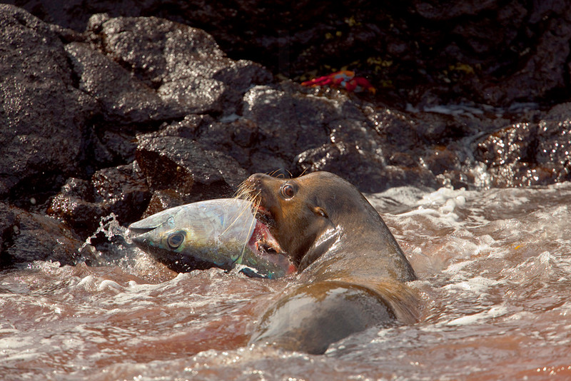 Galápagos sea lion (male) feasting on a yellowfin tuna after having killed it, Puerto Egas, Santiago, Galápagos Islands, Ecuador