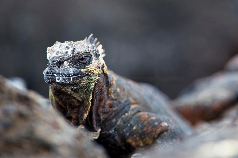 Marine iguana on rocks, Puerto Egas, Santiago, Galápagos Islands, Ecuador