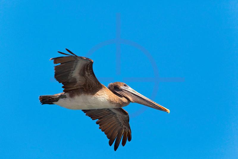 Brown pelican (juvenile) in flight, South Plaza, Galápagos Islands, Ecuador