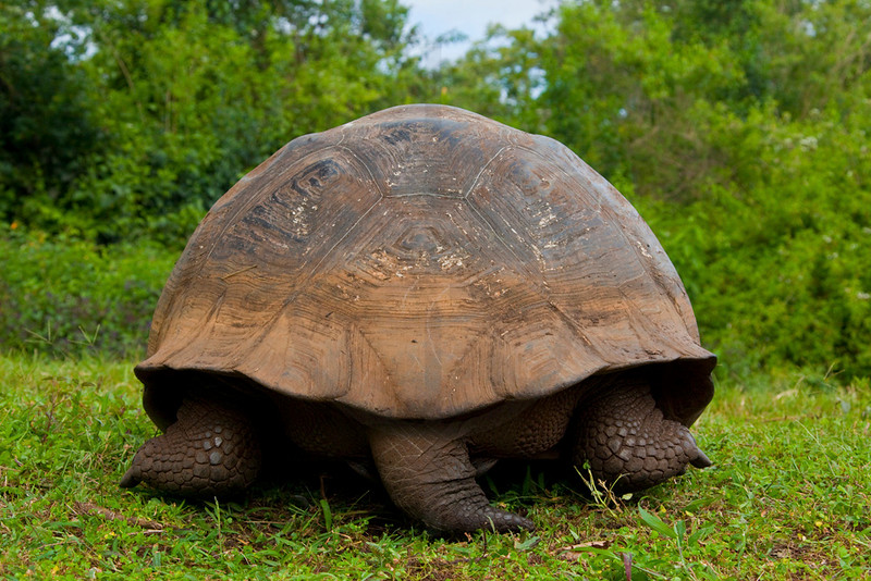 Galápagos tortoise from behind, Charles Darwin Research Station, Santa Cruz, Galápagos Islands, Ecuador
