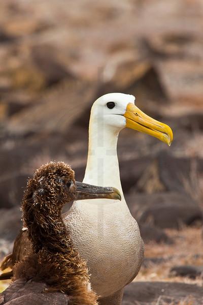Waved albatros with chick, Punta Suárez, Española, Galápagos Islands, Ecuador