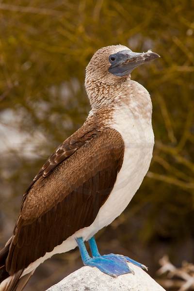 Blue-footed booby (female) perching, Punta Suárez, Española, Galápagos Islands, Ecuador