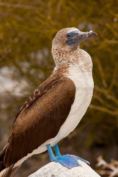 Blue-footed booby (female) perching, Punta Suárez, Española, Galápagos Islands, Ecuador