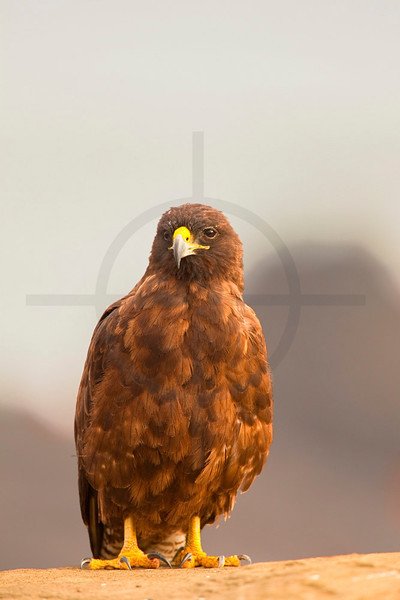 Galápagos hawk, Puerto Egas, Santiago, Galápagos Islands, Ecuador