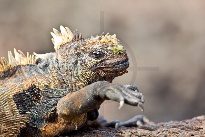 Marine iguana raising a front leg, Puerto Egas, Santiago, Galápagos Islands, Ecuador