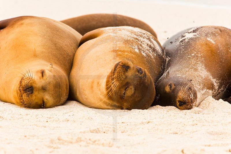 Three Galápagos sea lions sleeping on beach, Playa Gardner, Españoal, Galápagos Islands, Ecuador