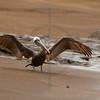 Brown pelican (adult) spreading its wings on a beach, Puerto Egas, Santiago, Galápagos Islands, Ecuador