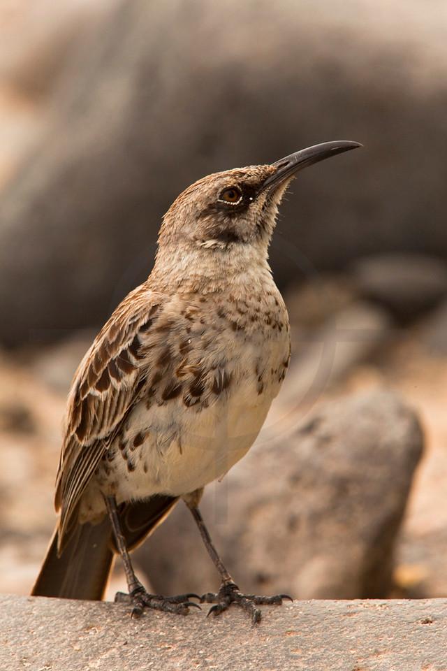 Hood mockingbird, Punta Suárez, Española, Galápagos Islands, Ecuador