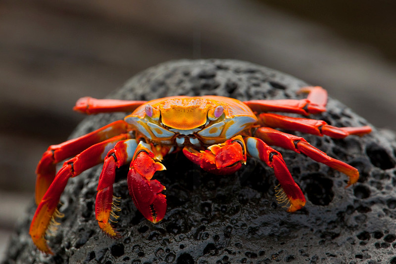 Sally lightfoot crab on lava rock feeding, Puerto Egas, santiago, Galápagos Islands, Ecuador