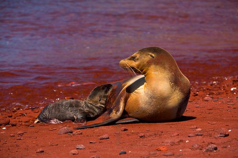 Galápagos sea lion (female) with pup, Playa Rojo,  Jervis, Galápagos Islands, Ecuador