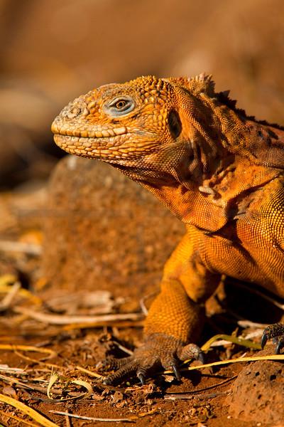 Galápagos land iguana (male), North Seymour, Galápagos Islands, Ecuador