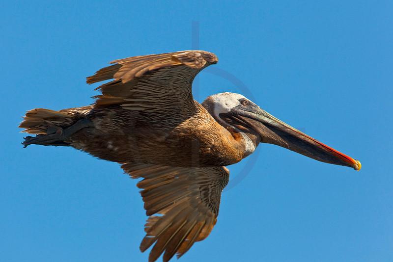 Brown pelican (adult) in flight, South Plaza, Galápagos Islands, Ecuador