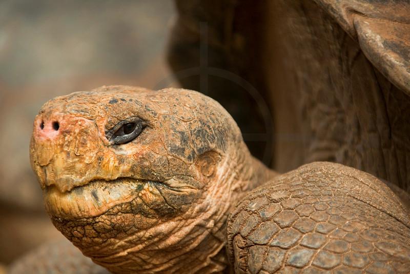 Galápagos tortoise, Charles Darwin Research Station, Santa Cruz, Galápagos Islands, Ecuador