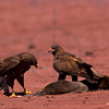 Galápagos hawks investigating and preying on a dead seal lion puppy,  Jervis, Galápagos Islands, Ecuador