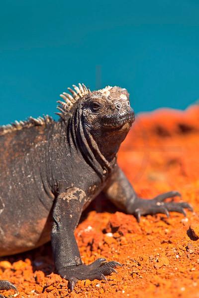 Marine iguana, Playa Rojo,  Jervis, Galápagos Islands, Ecuador