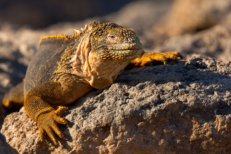 Galápagos land iguana clinging to the rocks, South Plaza, Galápagos Islands, Ecuador