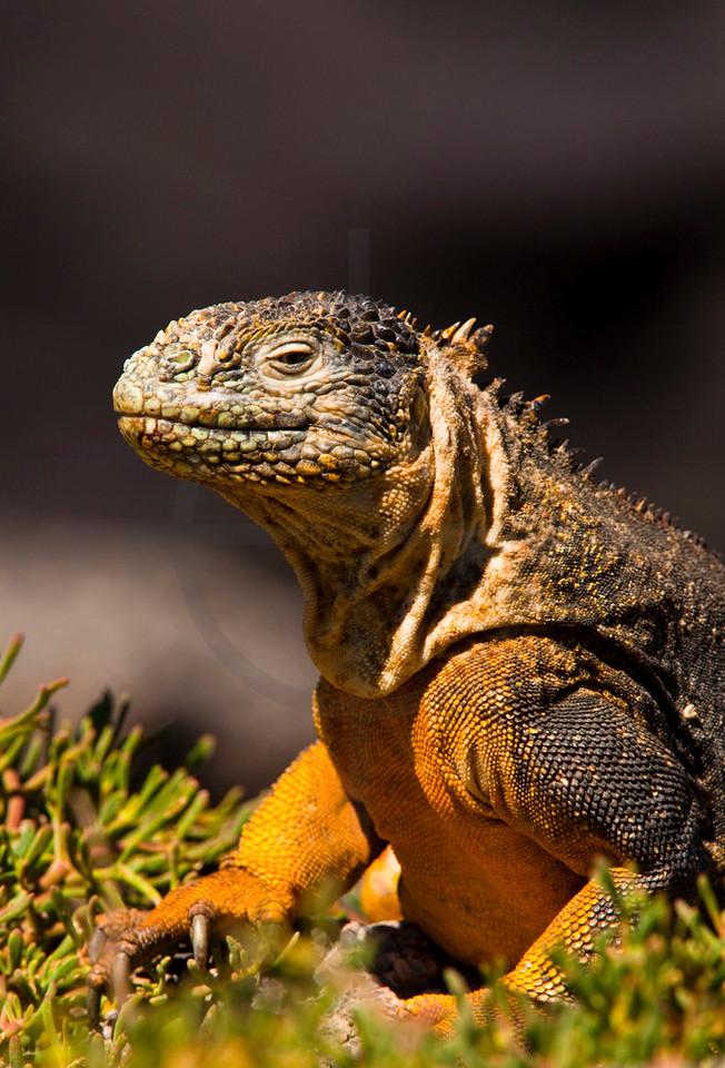 Galápagos land iguana, South Plaza, Galápagos Islands, Ecuador
