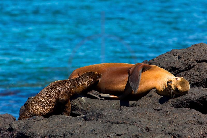 Mother Galápagos sea lion breastfeeding her cub, South Plaza, Galápagos Islands, Ecuador