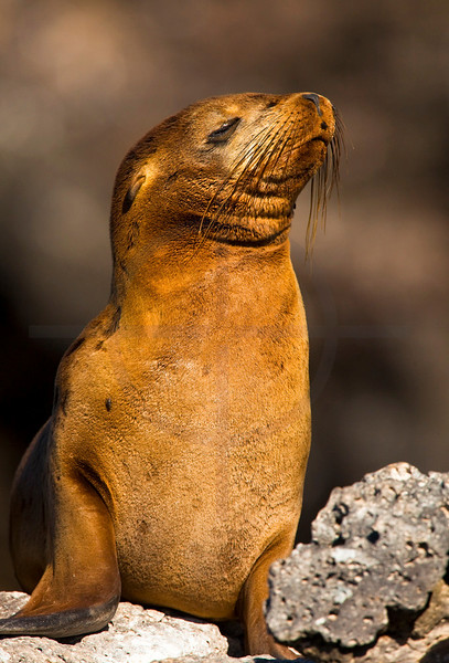 Galápagos sea lion (female), South Plaza, Galápagos Islands, Ecuador