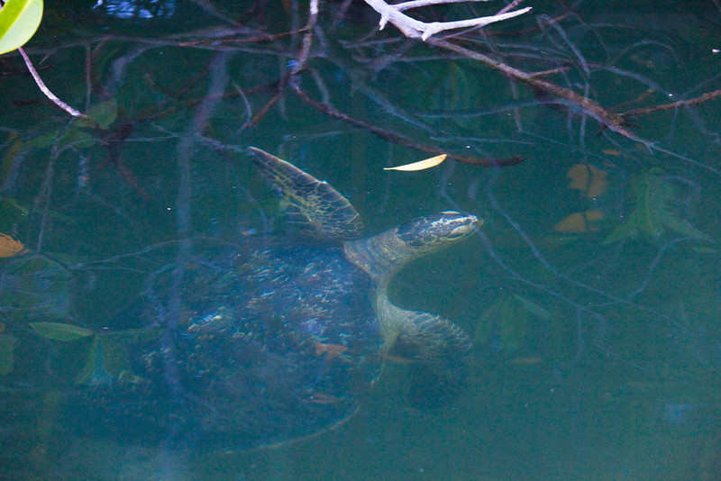 Green sea turtle surfacing in a mangrove forest, Black Turtle Cove, Santa Cruz, Galápagos Islands, Ecuador