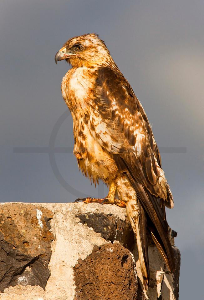 Galápagos hawk (juvenile) perching with one leg lifted, Santa Fé, Galápagos Islands, Ecuador