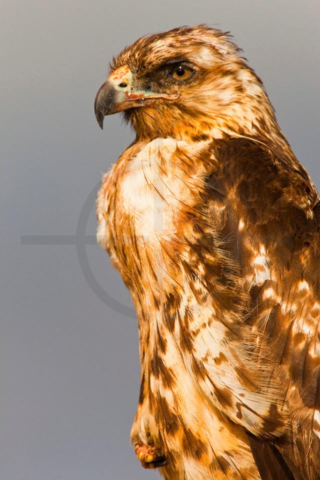 Close up of a Galápagos hawk (juvenile) having one leg drawn up, Santa Fé, Galápagos Islands, Ecuador