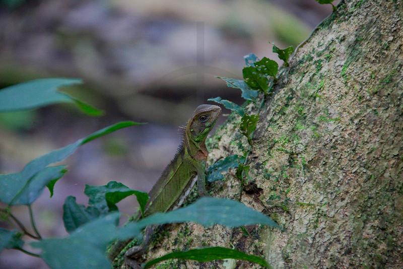 Guichenot's dwarf iguana, Yasuni National Park, Ecuador