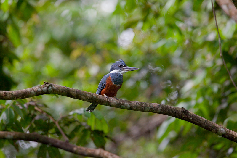 Ringed kingfisher (female), Yasuni National Park, Ecuador