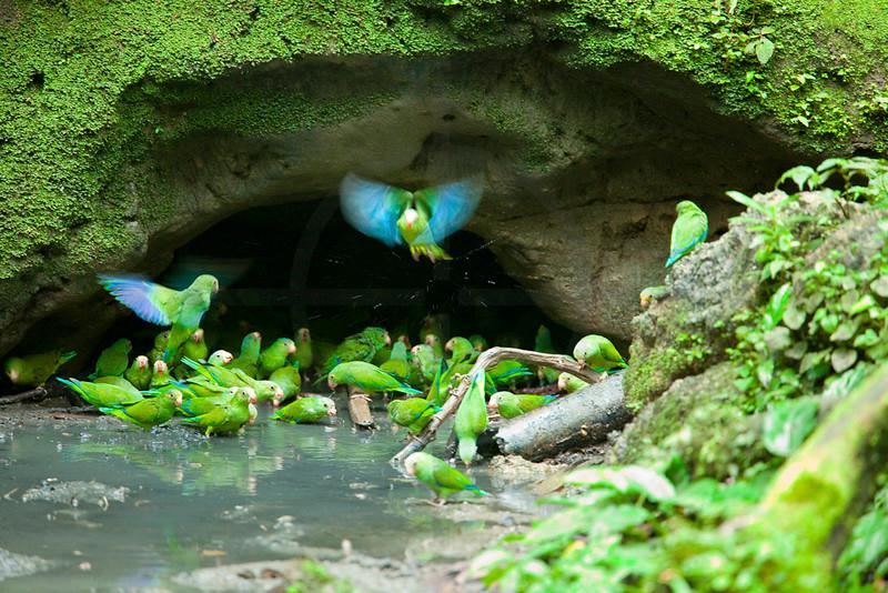 Cobalt-winged parakeets at clay lick, Yasuni National Park, Ecuador