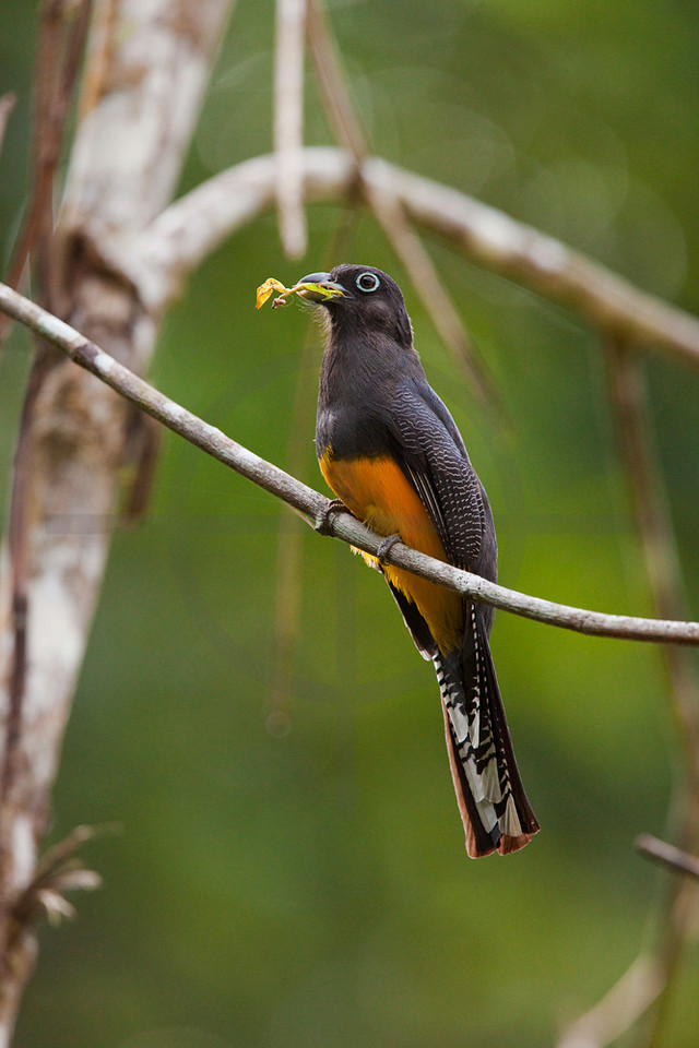 Amazonian white-tailed trogon (female) with dead mantis in beak, Yasuni National Park, Ecuador