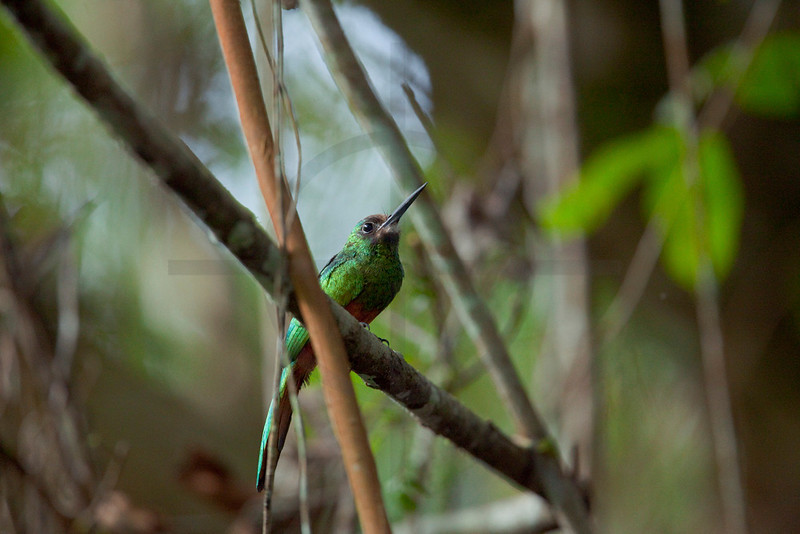 White-chinned jacamar (male), Napo Wildlife Center, Yasuni National Park, Ecuador