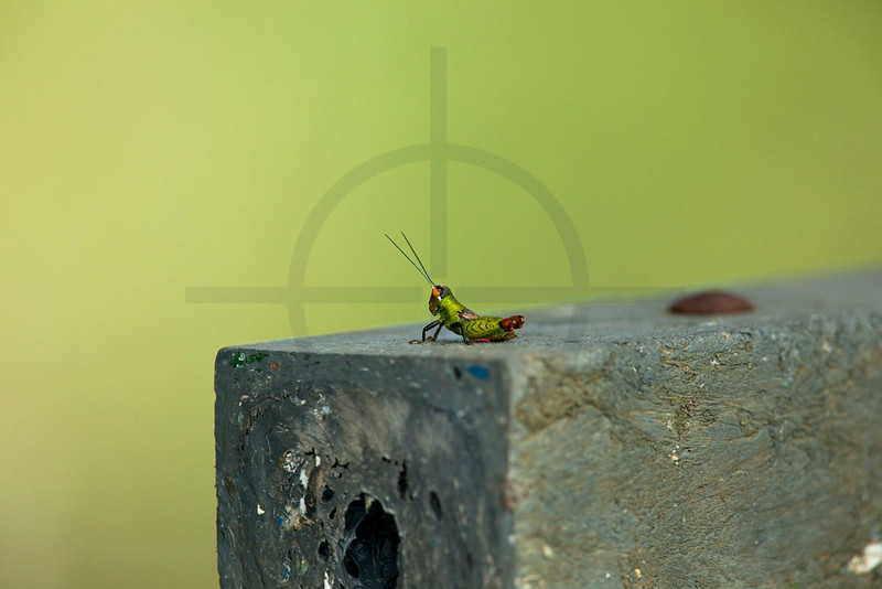Grasshopper, Yasuní National Park, Ecuador