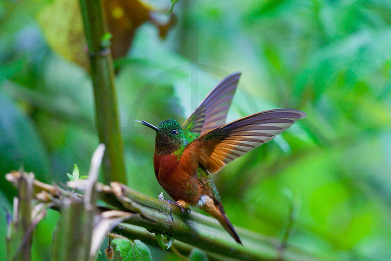 Chestnut-breasted coronet about to perch, Cabañas San Isidro Forest Reserve, Ecuador