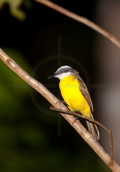 Lesser kiskadee at night, Yasuni National Park, Ecuador