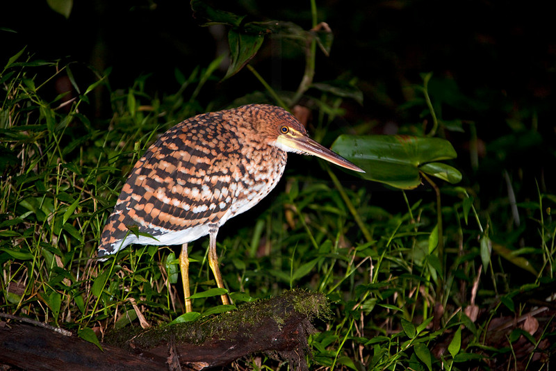 Juvenile rufescent tiger heron at night, Yasuní National Park, Ecuador