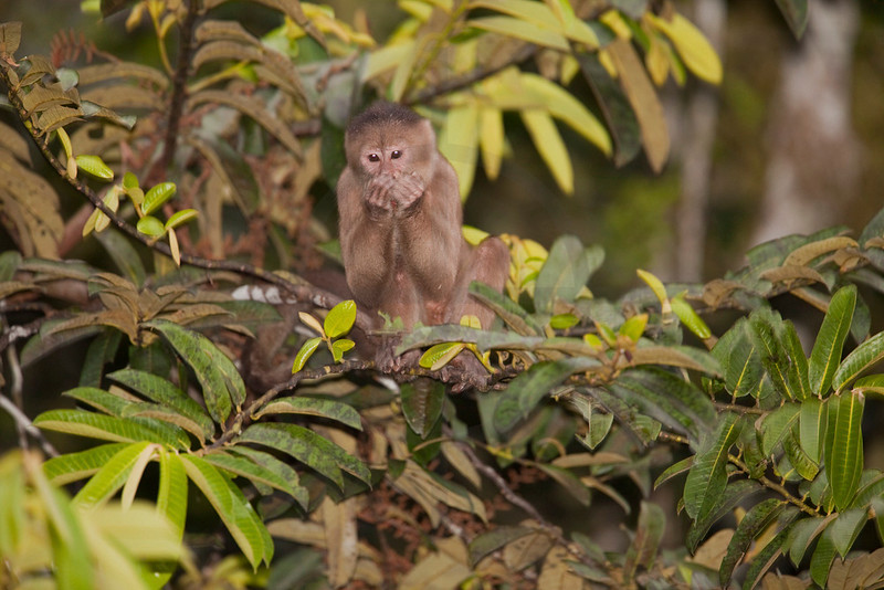 White-fronted capuchin monkey eating in the trees at dusk, Yasuni National Park, Ecuador